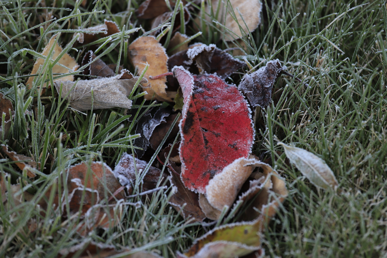 Blätter mit Morgenfrost