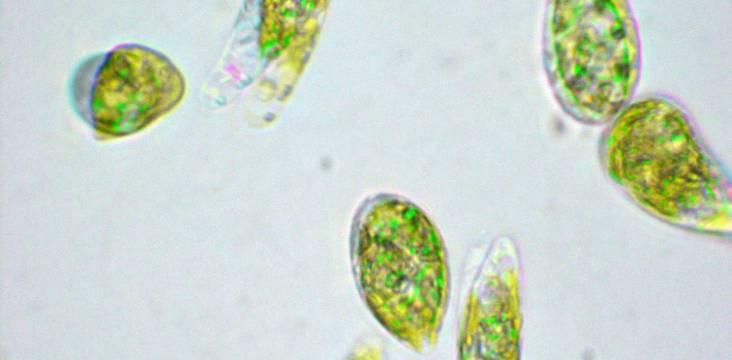 midorimushi mikroalge