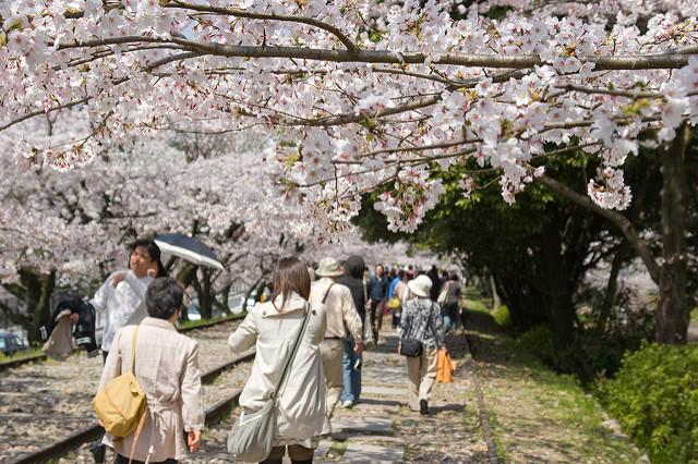Die Keiage Incline mit blühenden Kirschbäumen