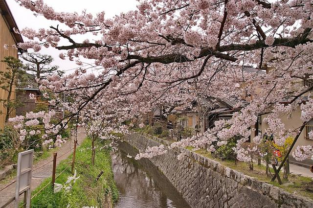 Tetsugaku no michi während der Kirschblütensaison