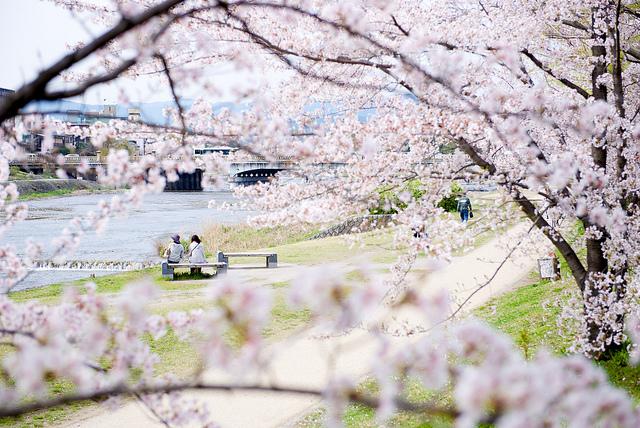 Der Fluss Kamo-gawa mit Kirschblüten