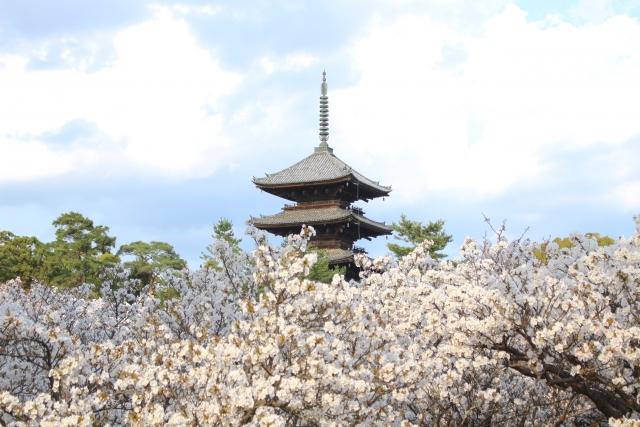 Der Tempel Ninna-ji mit blühenden Kirschbäumen