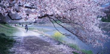 Kirschblüten in Kyoto am Fluss