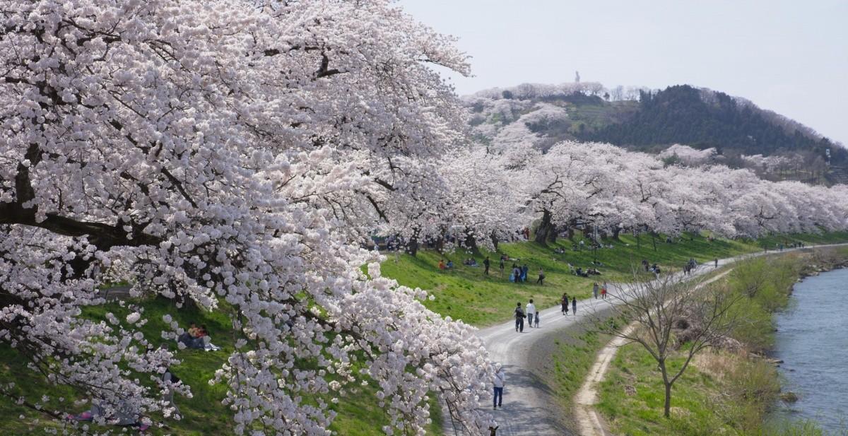 Kirschblüte in Tohoku
