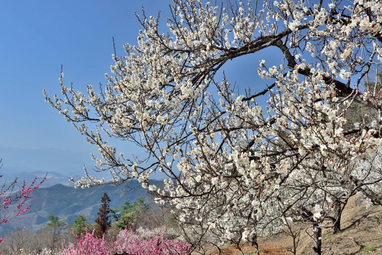 pflaumenblüte chichibu