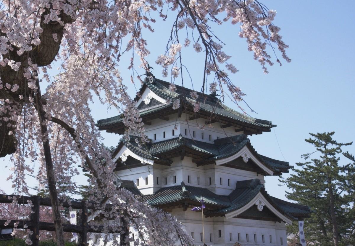 Von Kirschblüten umrahmte Burg in Tohoku