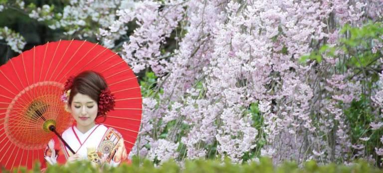 junge japanerin vor Kirschblüten