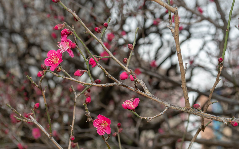 pflaumenblüte koishikawa korakuen