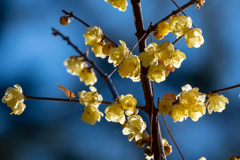 Pflaumenblüte Koganei koen