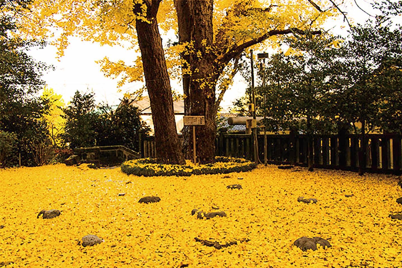 Ginkgo Baum mit gelbem Laub