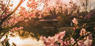 Kirschblüte im japanischen Garten in Hasselt.