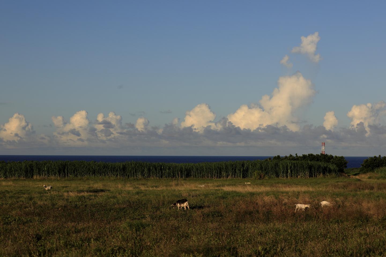 In der Abenddämmerung grasende Ziegen auf Hateruma-jima.