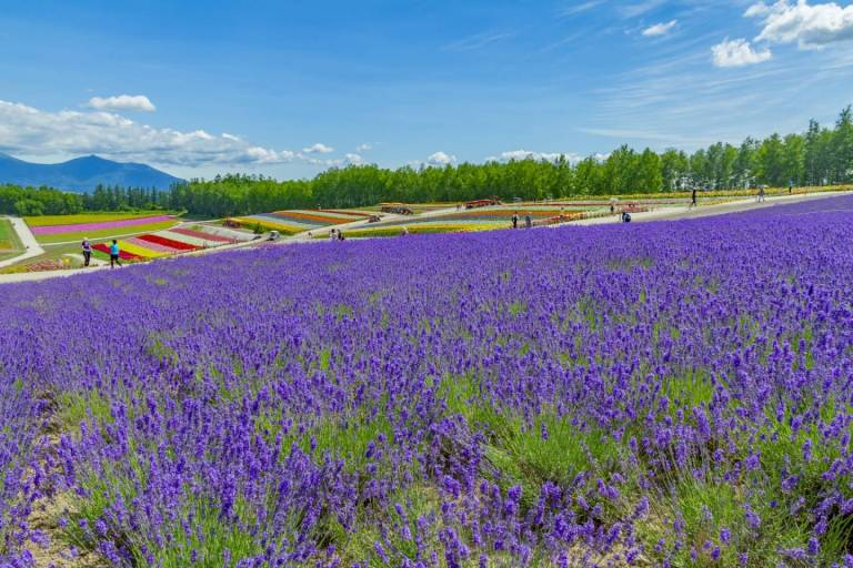 Lavendelfeld in Hokkaido