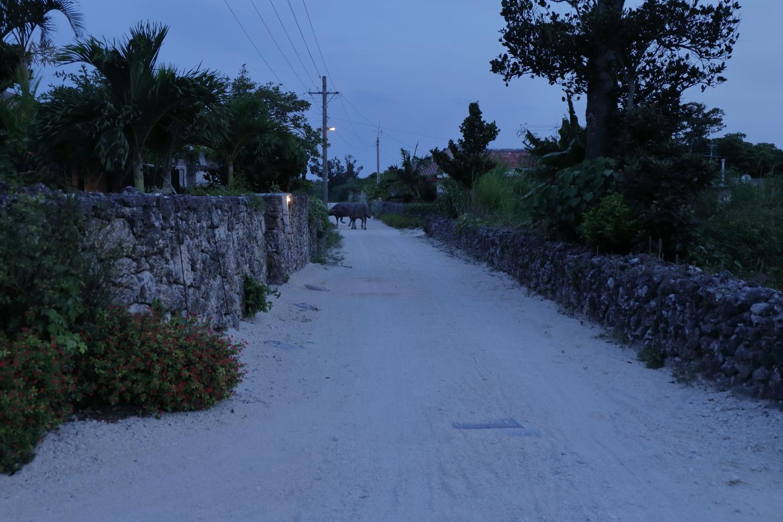Taketomi-jima am Abend: Der Wasserbüffel, der am Ochsenkarren in der Siedlung geabeitet hat, kehrt in sein Nachtlager zurück.