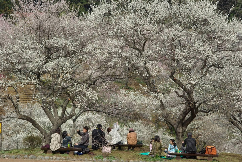 Pflaumenblütenschau in Japan