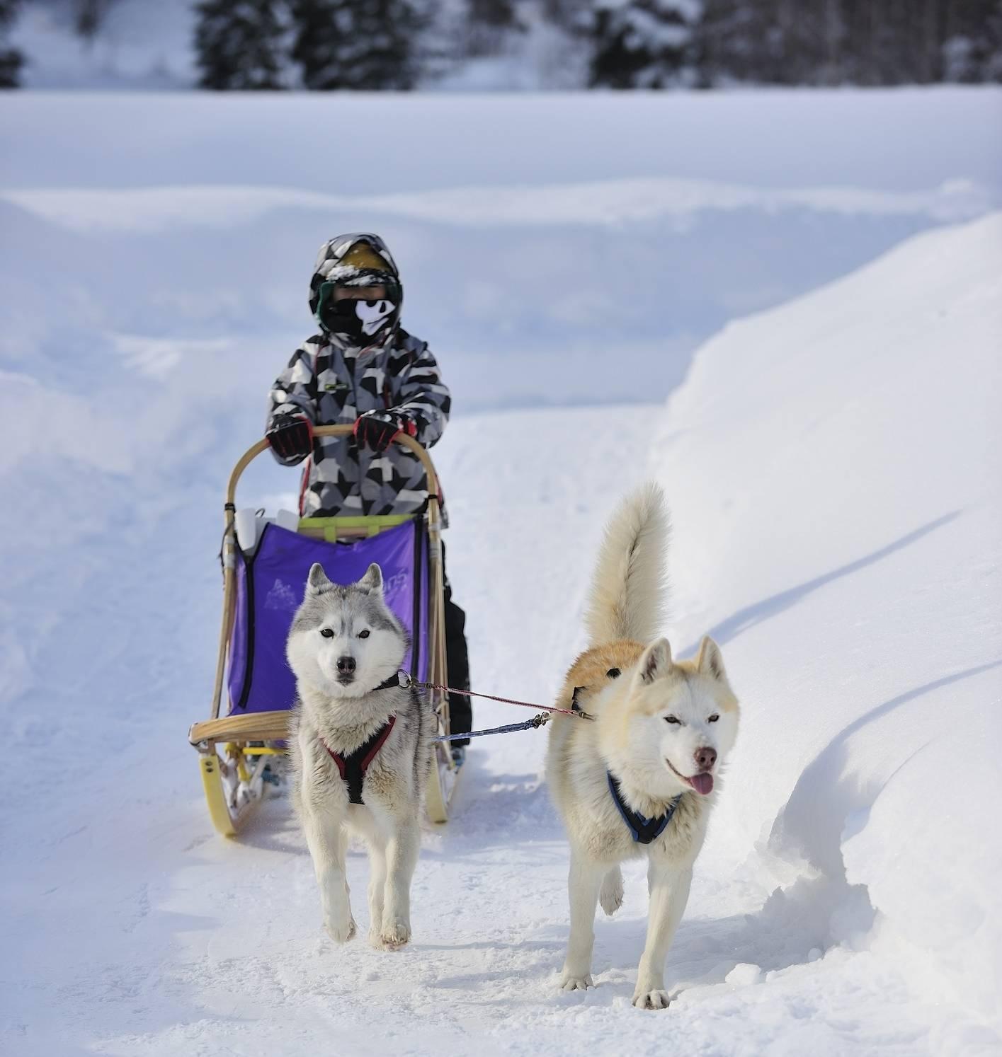 Fahrt mit dem Hundeschlitten im schneereichen Nordjapan