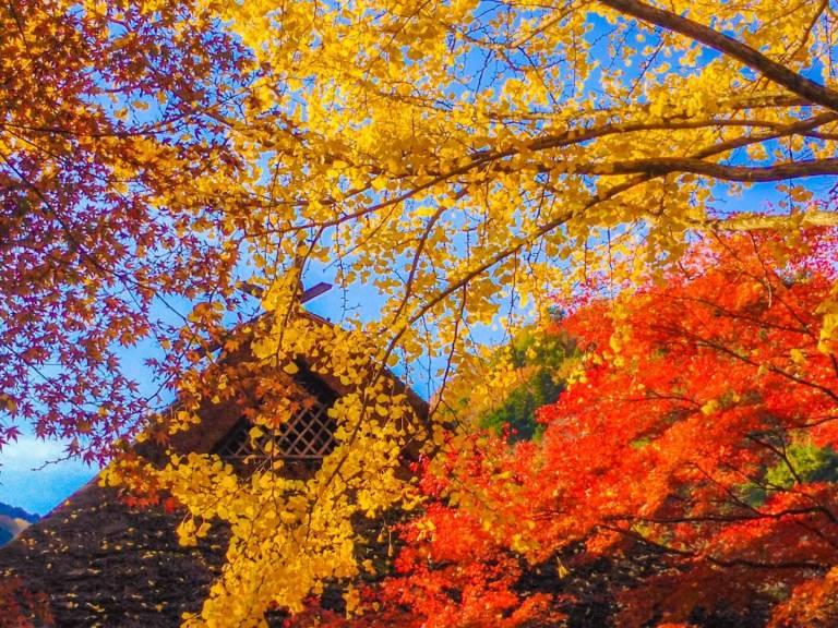 Herbstlaubfärbung in Japan: rotes und gelbes Laub