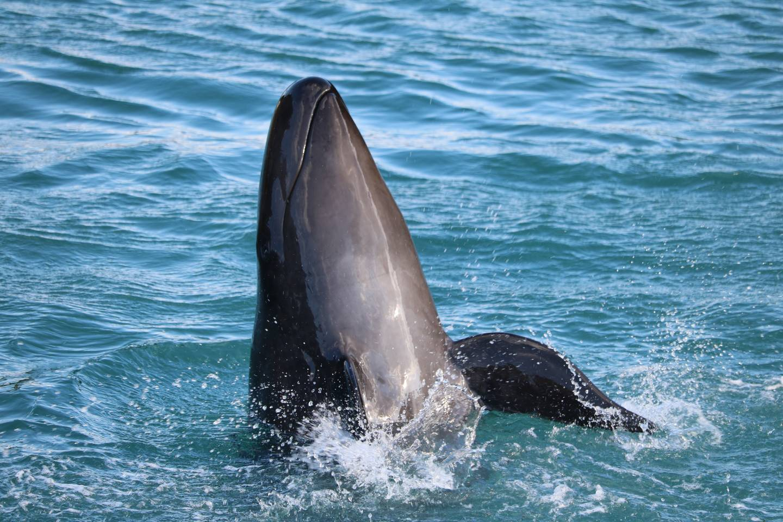 Ein Wal stößt mit Schnauze aus dem Wasser heraus