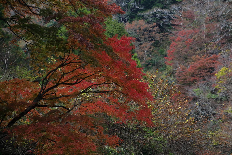 Rotes Herbstlaub an einem Spazierweg im Yōrō Keikoku-Park.