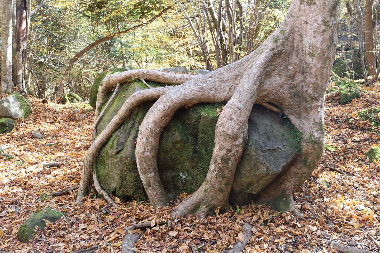 Auf einem Stein wachsender Baum im Aso-Kujū-Nationalpark