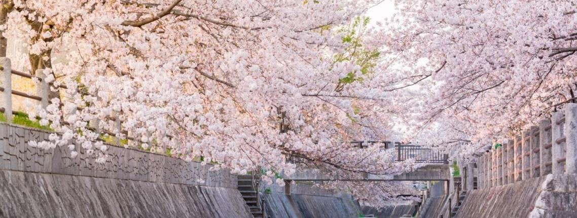 Kirschblüte in japan 2020> von Bl[henden Kirschb'umen umrahmter Kanal