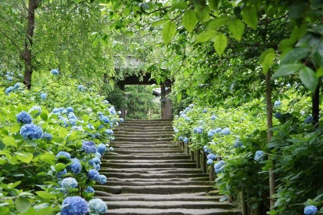 Waldweg zwischen Hortensien