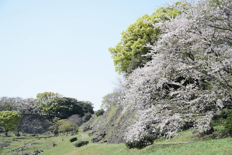 Kirschblüten in Karatsu