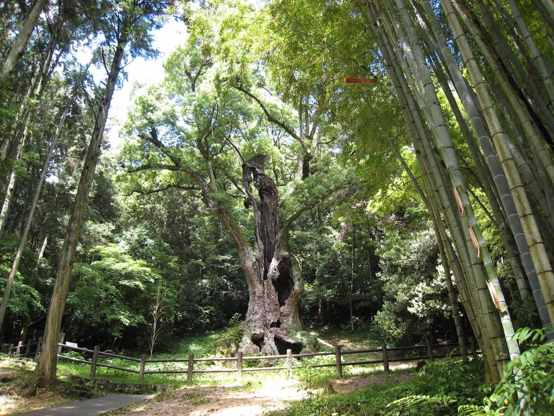 Prächtiger Kampferbaum im Wald in Takeo