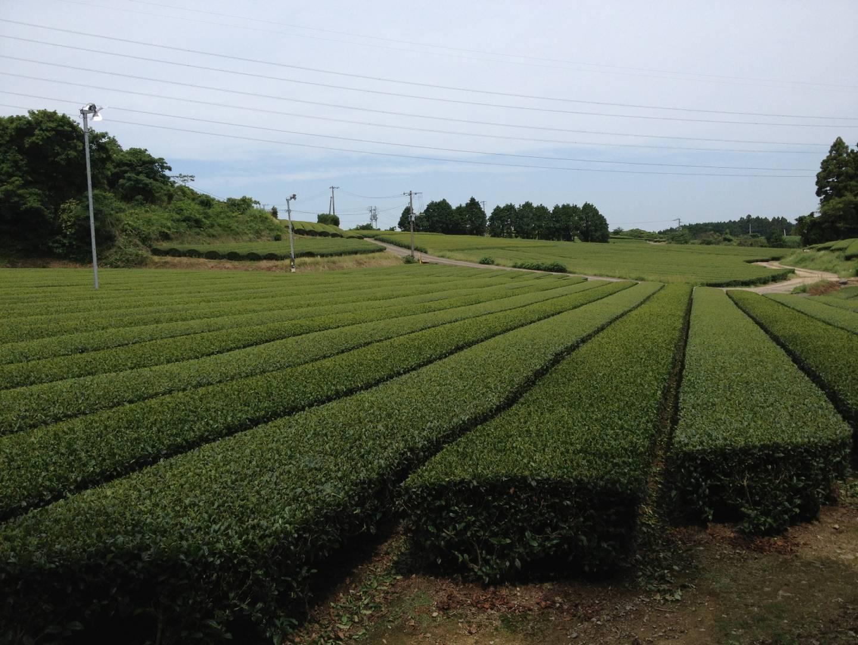 Teefelder in Ureshino
