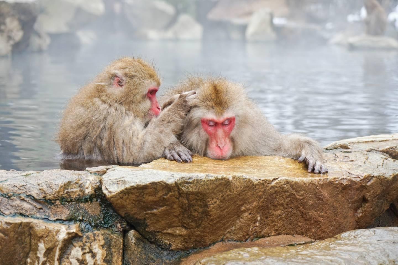 badende Affen in Nagano: Nahaufnahme