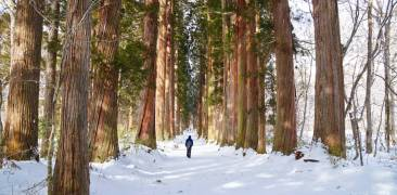 alte Zedern im verschneiten Nagano