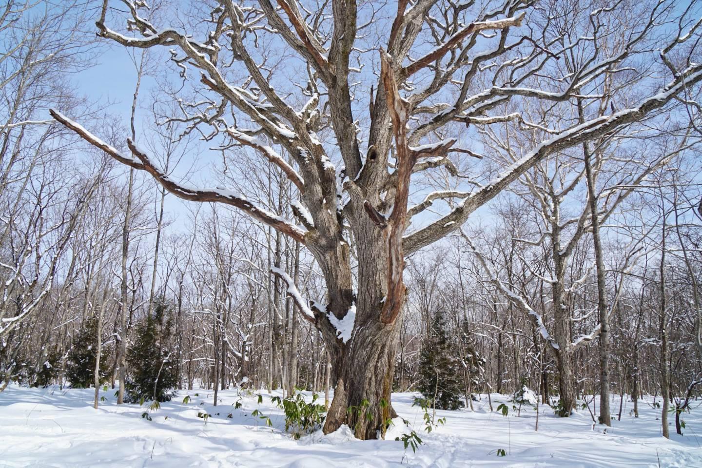 alter Baum im verschneiten Nagano