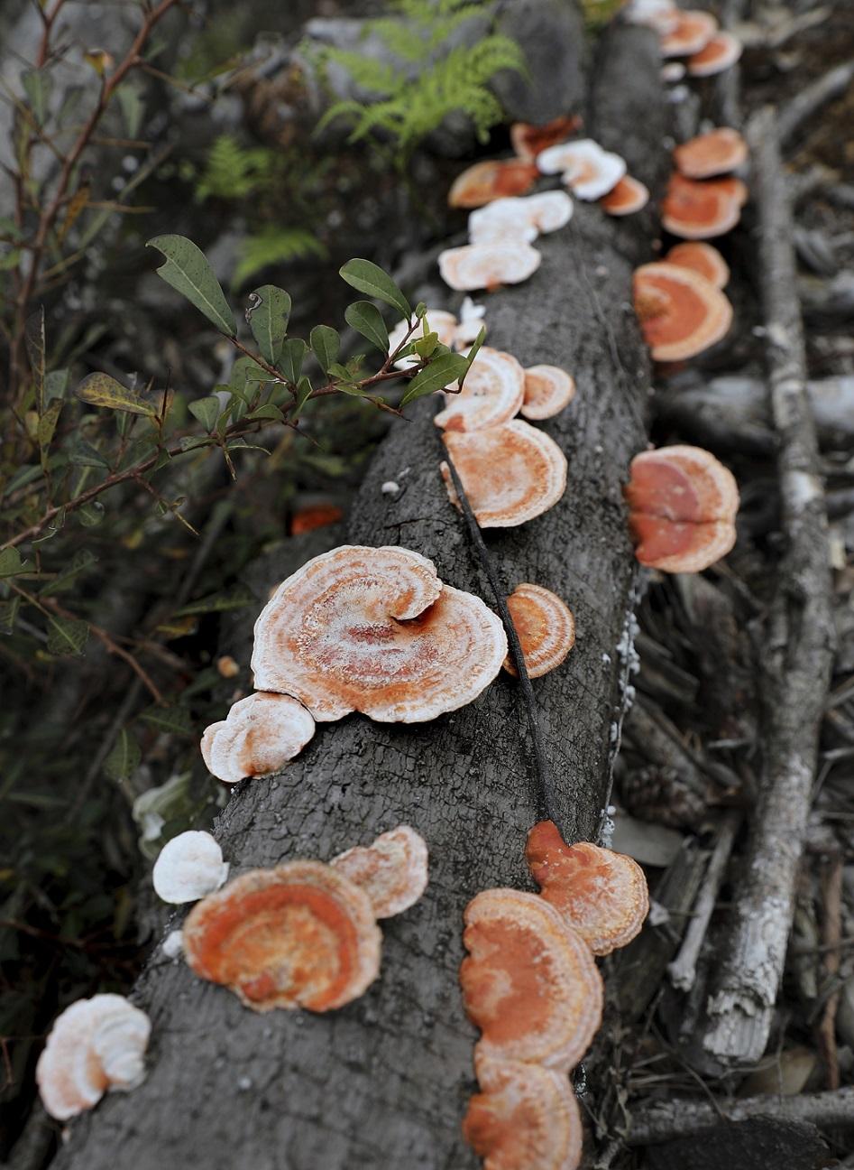 Pilzkolonie auf Yakushima