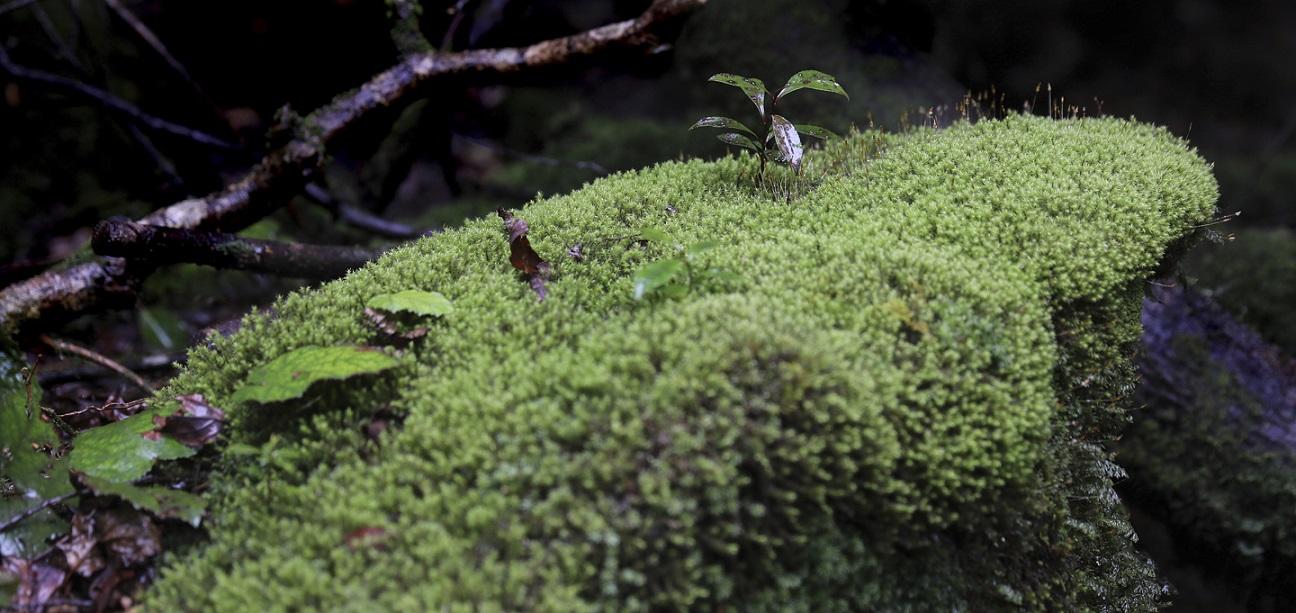 Moosbedeckte Wurzeln auf Yakushima