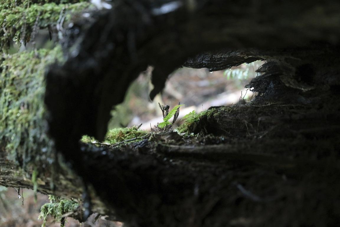 Baumstumpf auf Yakushima