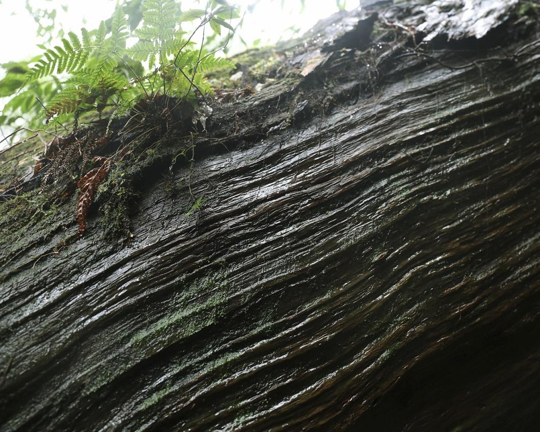 Baumrinde auf Yakushima
