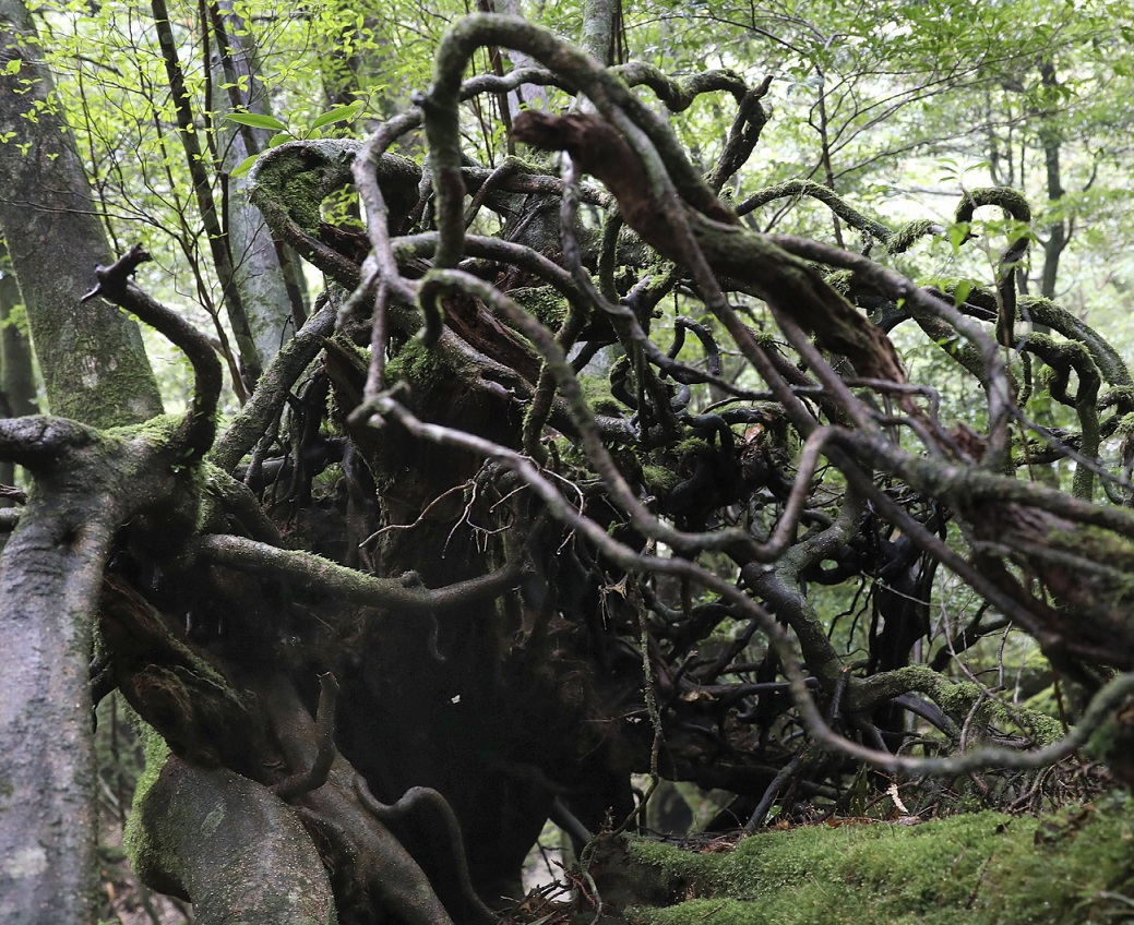 Umgestürztes Wurzelwerk auf Yakushima