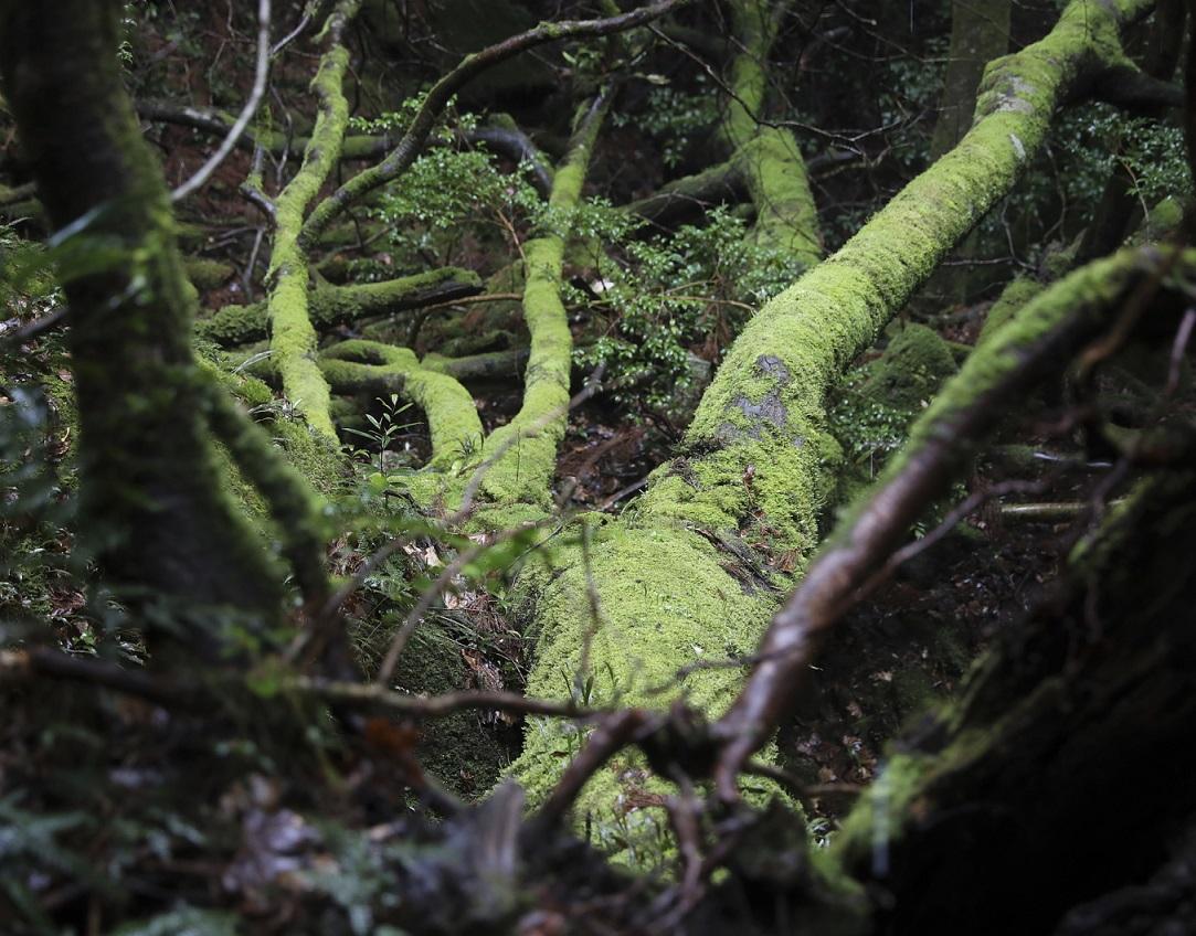 Moosbewachsene Wurzeln auf Yakushima
