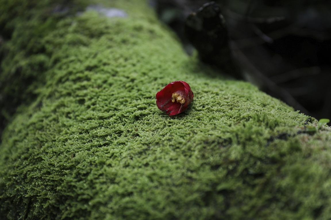 Rote Blüte auf Yakushima