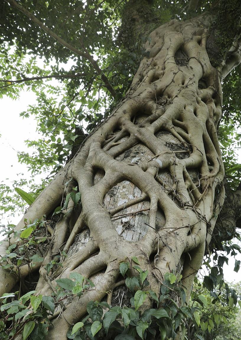 Chinesischer Feigenbaum auf Yakushima