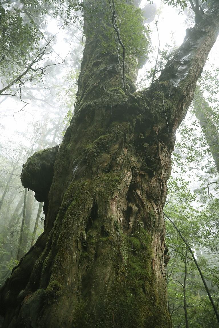 Baum auf Yakushima