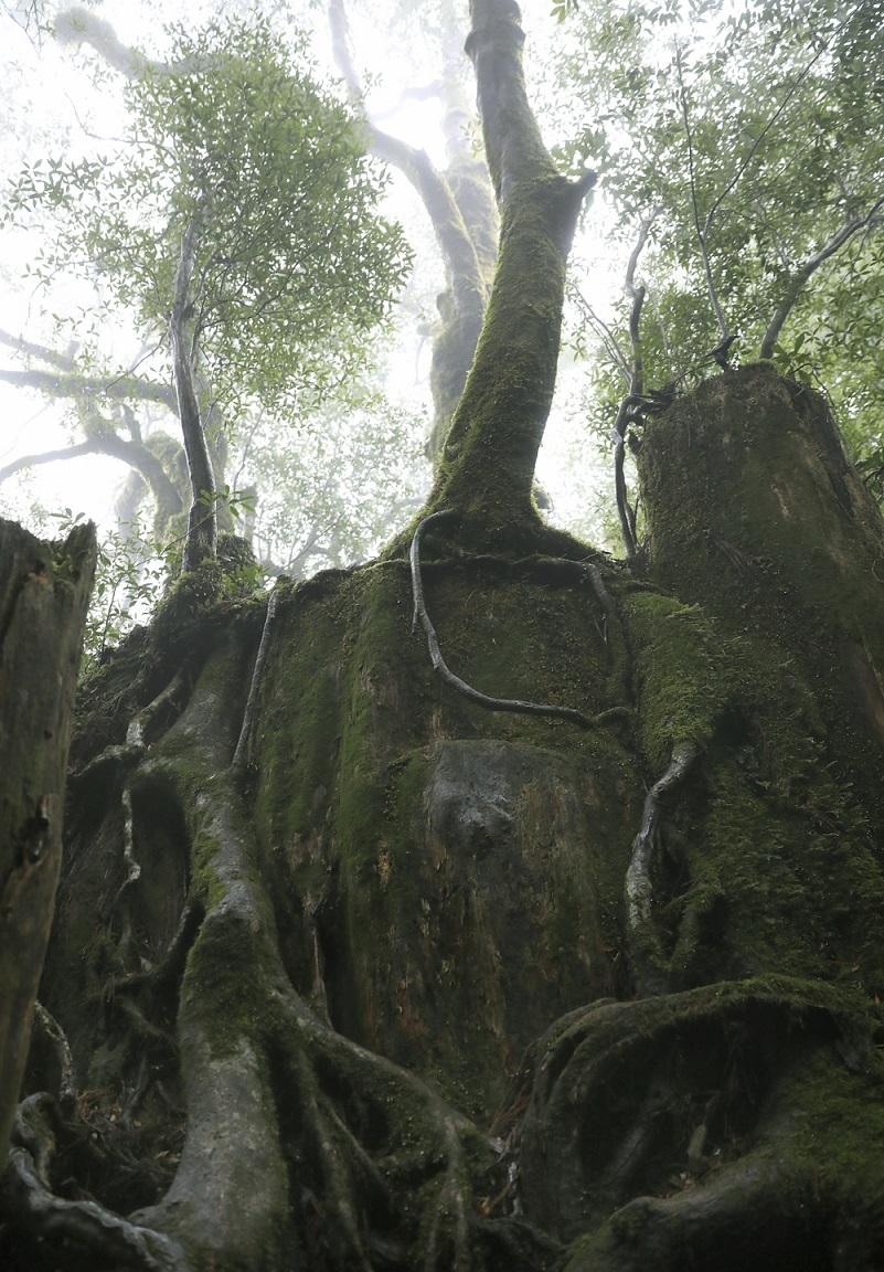 Junger Baum auf Yakushima