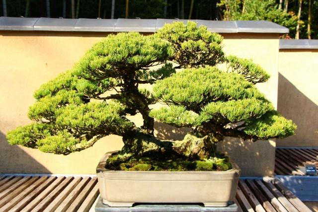 Outdoor Bonsai