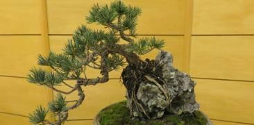 auf einem Stein wachsender Bonsai
