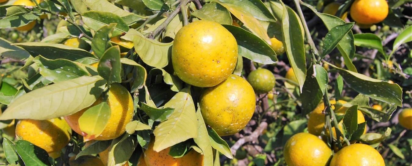 Satsuma-Baum