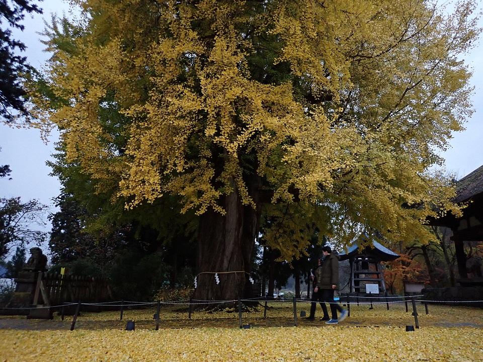 Ginkgo Baum vorm Shingu Kumano Schrein