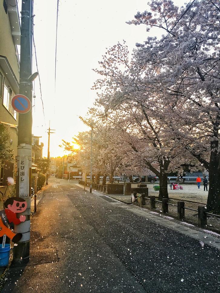 Kirschblüten in Kyoto