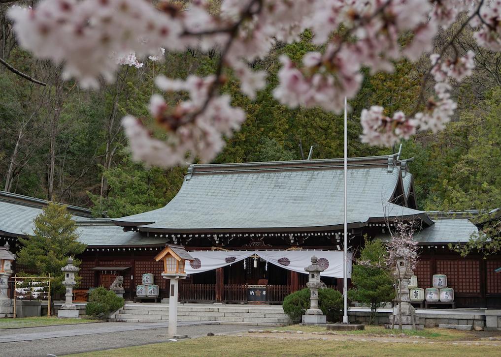Kirschblüten vor dem Gokoku-Schrein, grüne Bäume im Hintergrund