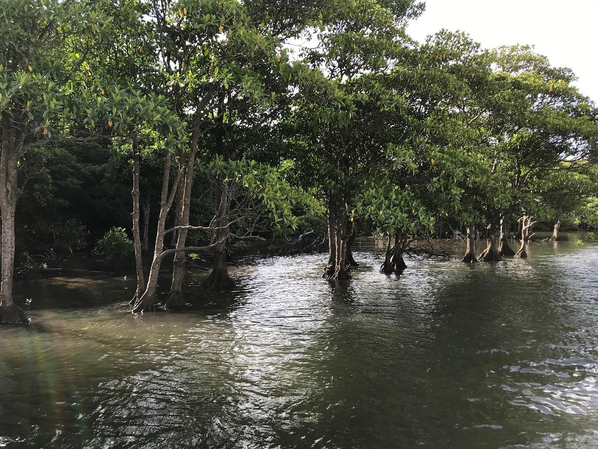 Mangrovenwald an der Mündung des Nakama Flusses.