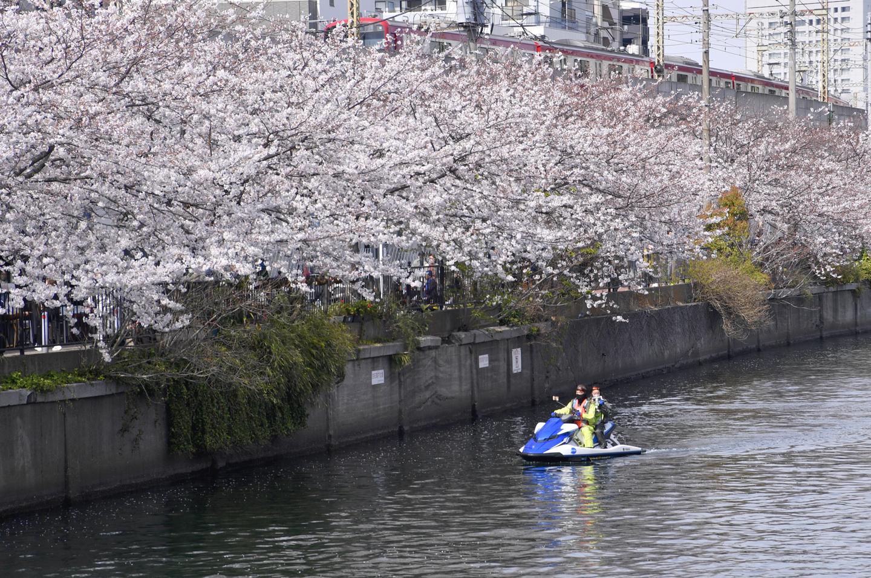 Kirschblüte in Yokohama
